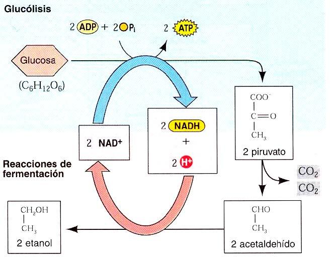 respiracion celular proceso anabolico o catabolico