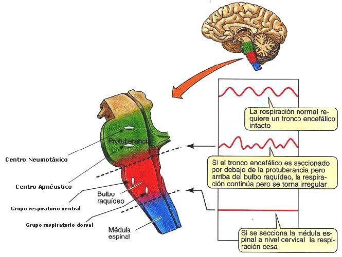 Control De La Respiración Y Dolor De Espalda: Regulación De La Respiración » Blog De Biologia