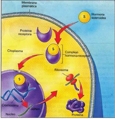 esteroides y hormonas esteroideas lipidos