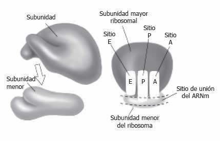 estructura biologica de los esteroides