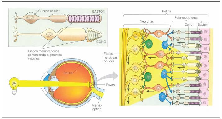 Resultado de imagen de la retina