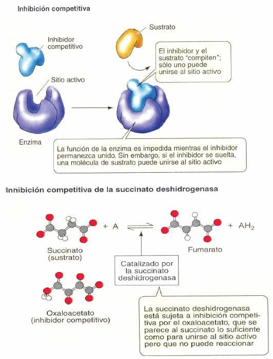 vias anabolicas de los acidos grasos