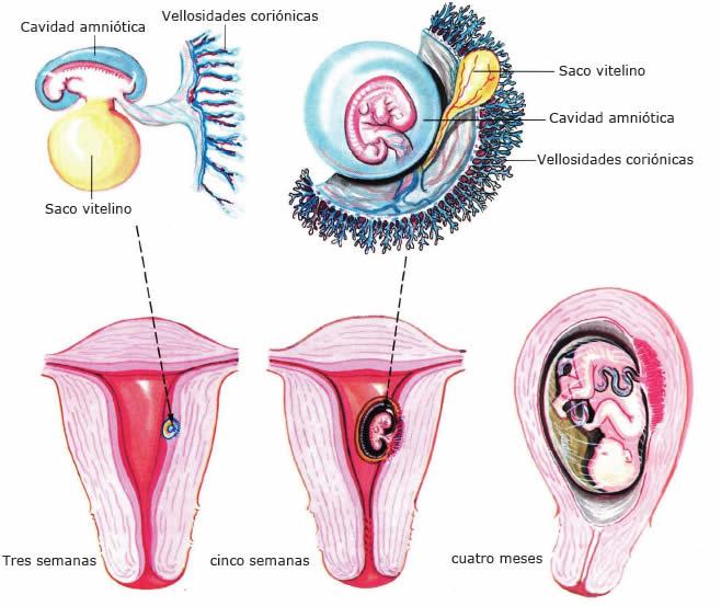Anexos embrionarios