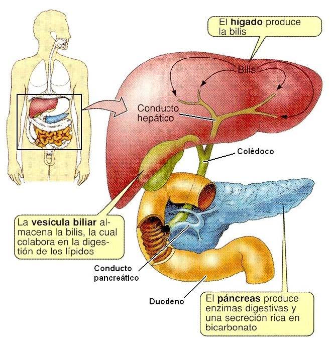 El Hígado » Blog de Biología