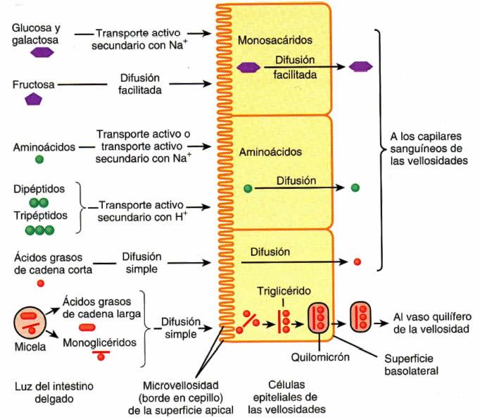 como ingresa la glucosa a la celula intestinal