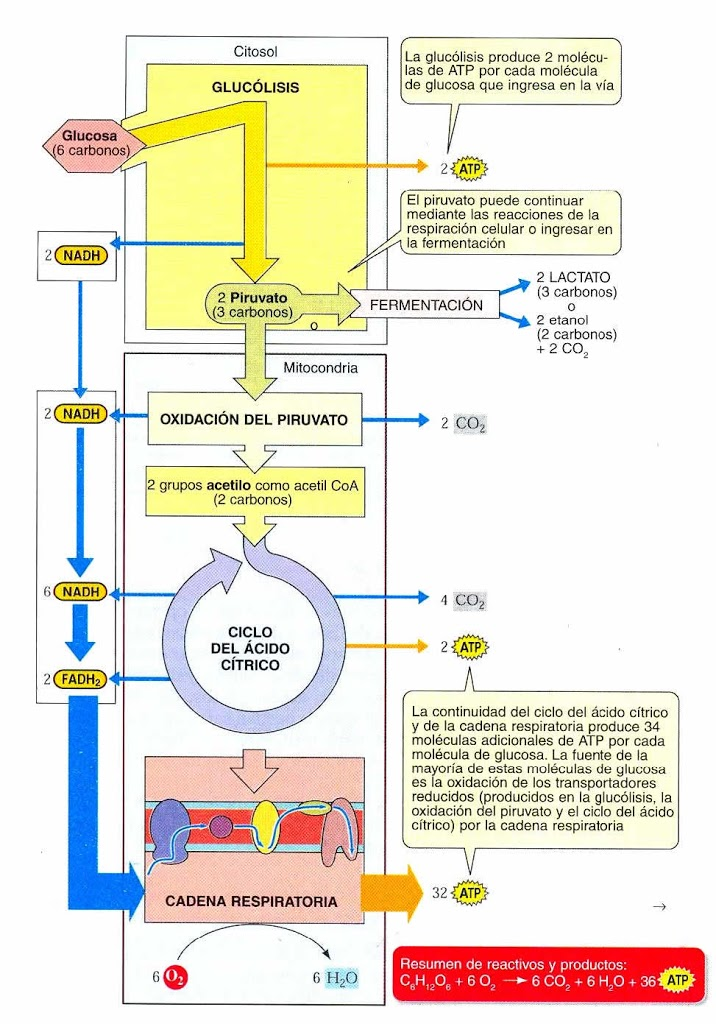 La respiración pulmonar y la celular