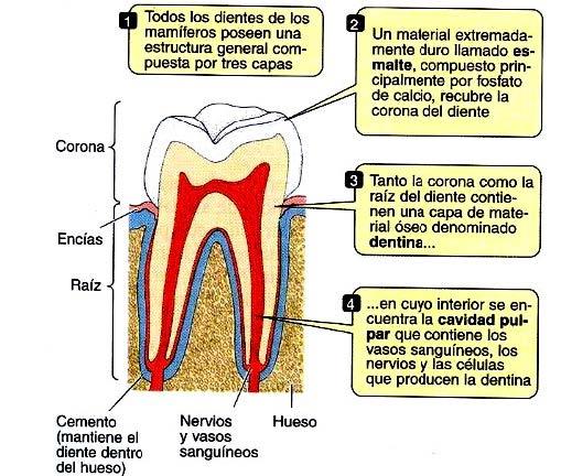 Anatomia y fisiologia del tubo digestivo » Blog de Biología
