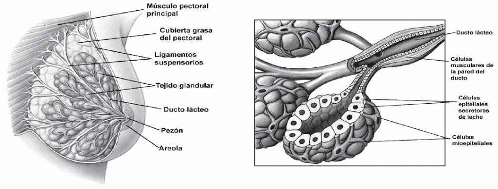 Organización y estructura de la glándula mamaria