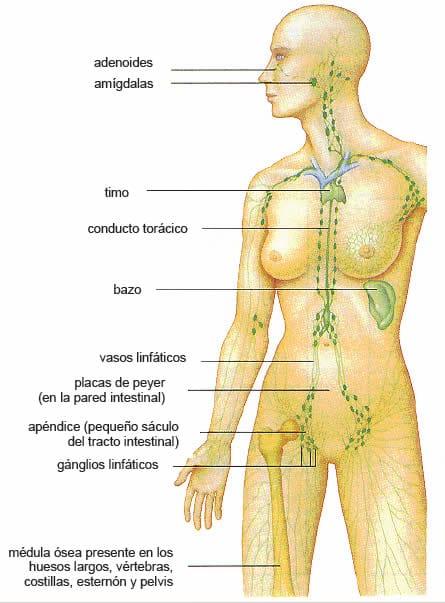 Sistema Inmune » Blog de Biología