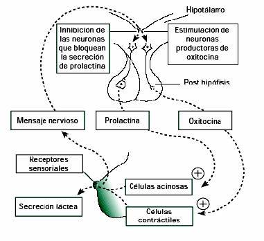 Secreción hormonal en la lactancia