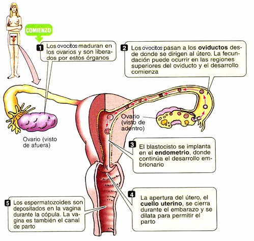 Función del aparato reproductor femenino