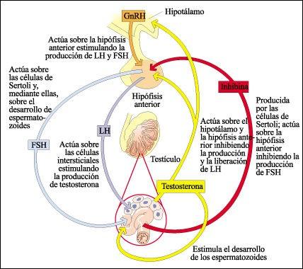 Regulación hormonal de la Espermatogénesis