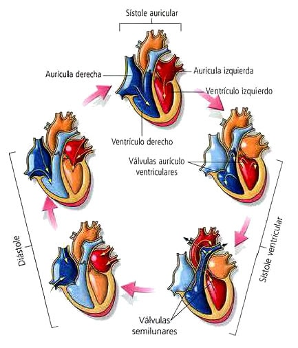 ciclo-cardiaco-etapas