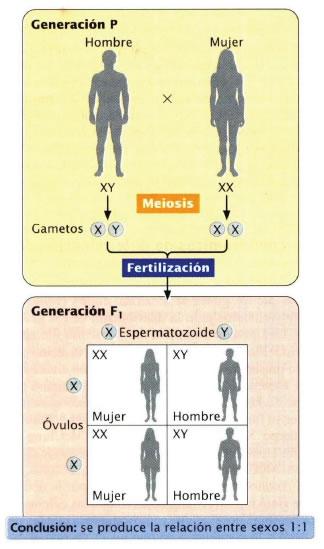 Sistemas cromosómicos