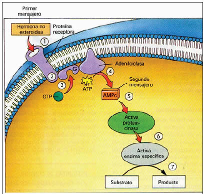 esteroides biologia wikipedia