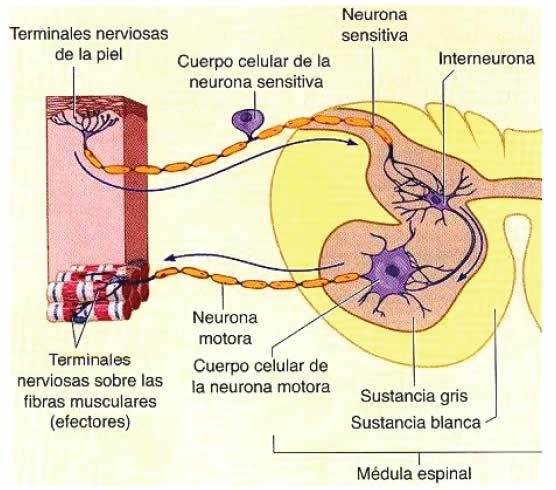 Función elaboradora de reflejos de la Médula Espinal » Blog de ...
