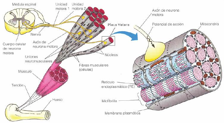 sistema somatomotor