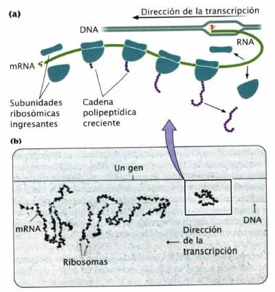 Traducción y Polirribosomas