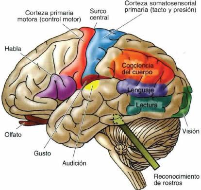 Funciones de los 5 lobulos cerebrales
