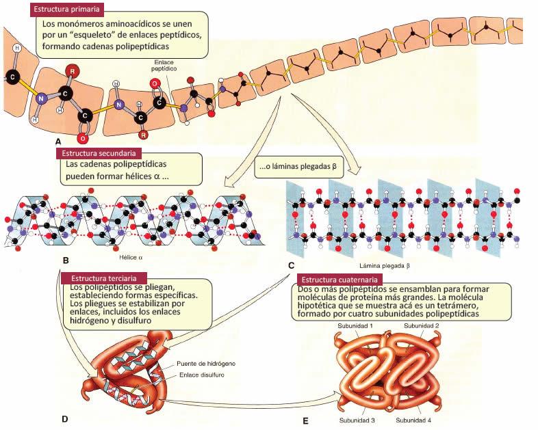 Organización estructural de las proteínas