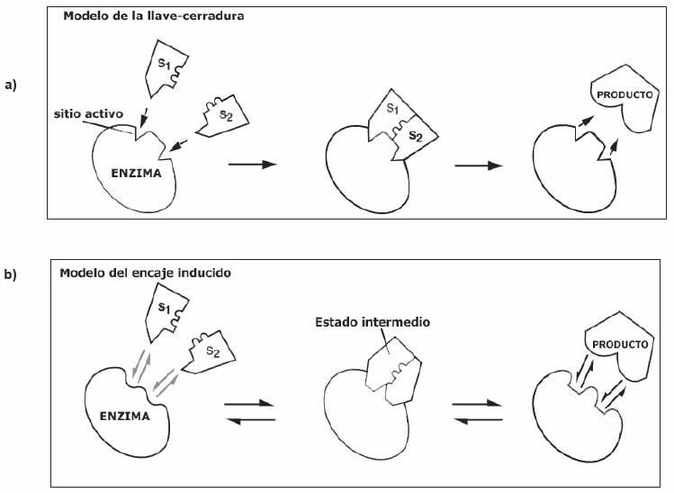 Modelos de acción enzimática