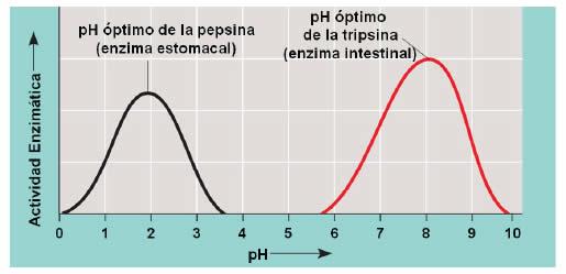 Factores que afectan la actividad enzimática - PH