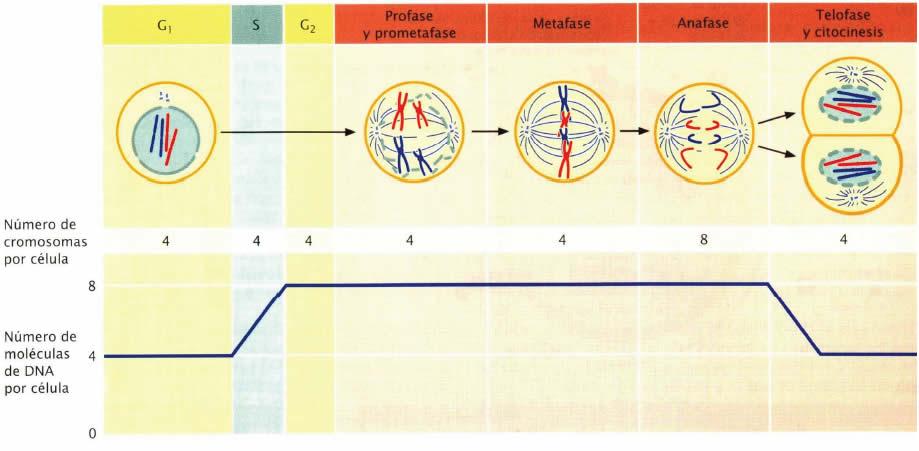 Cromosomas y ADN durante el ciclo celular