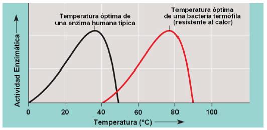 Efecto de la temperatura sobre la actividad enzimática