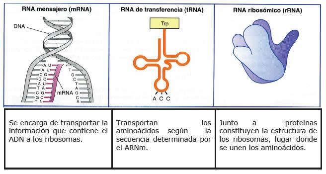 Ácido Ribonucleico ARN