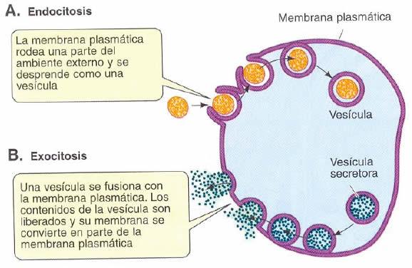 Intercambio a través de vesículas