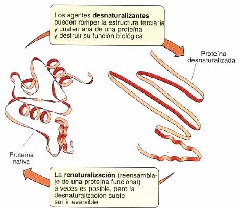 Desnaturalización de una proteína