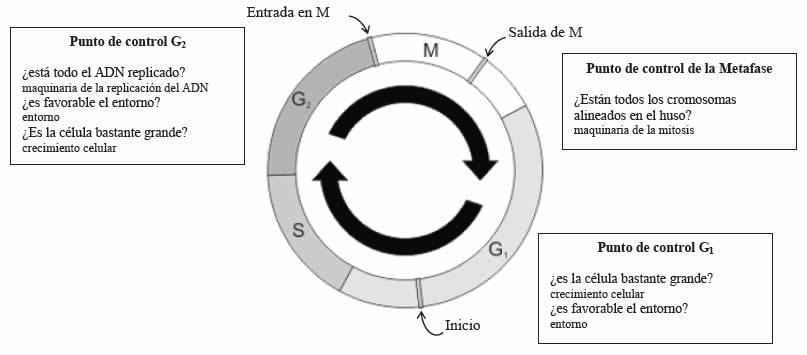 Control de la división celular