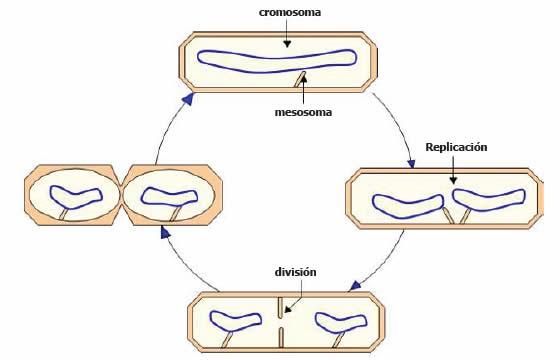 División en procariontes