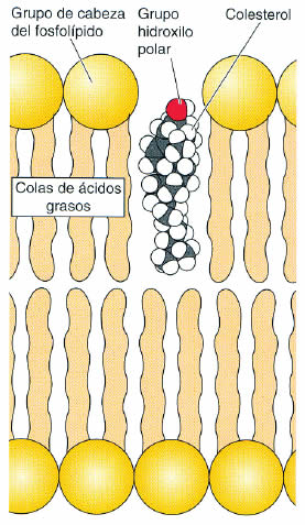 esteroides estructura general