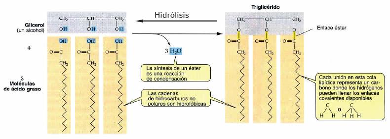 Glicéridos