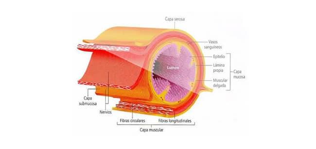 Partes del sistema digestivo » Blog de Biología