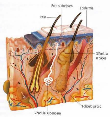 Sistema excretor - Piel