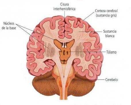 Corte frontal del encéfalo