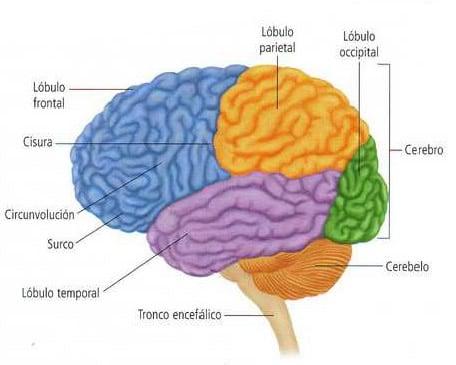 Partes Del Sistema Nervioso Blog De Biología