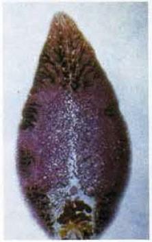 Macroparásito