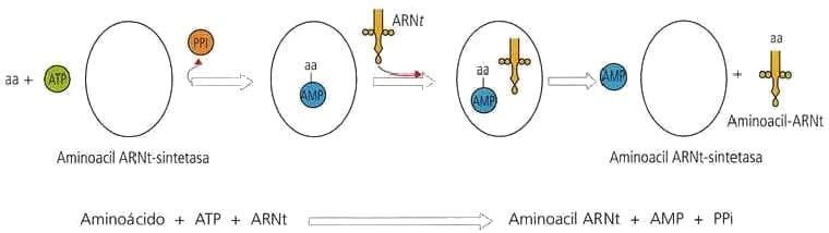 aminoacil-ARNt-sintetasa