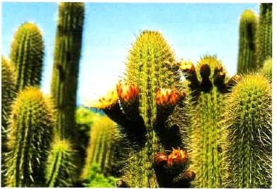 cactus-evolucion