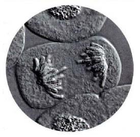 celula-anafase