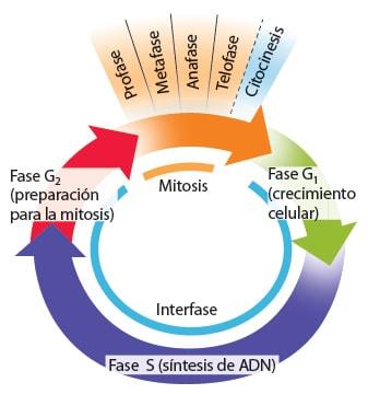 Esquema ciclo celular