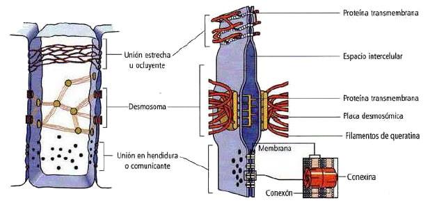 union-celula-celula